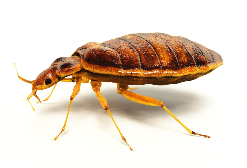 Bed Bug Treatment nyc